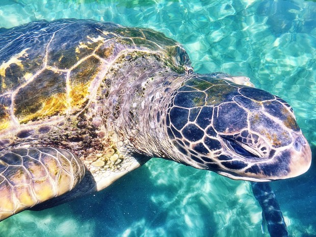 Green Sea Turtle at Reefword in Hervey Bay