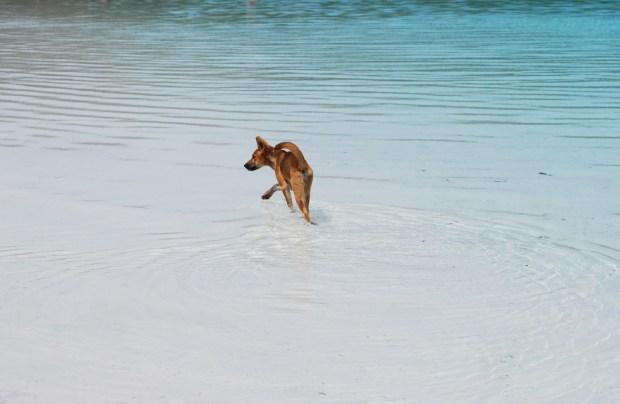 Dingo pup Lake McKenzie Fraser Island