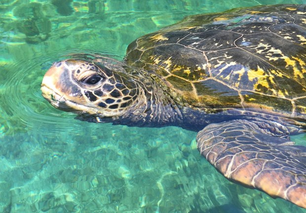 Giant Green Sea Turtles Hervey Bay travel plans travel