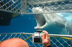 Dive with great white sharks in Port Lincoln