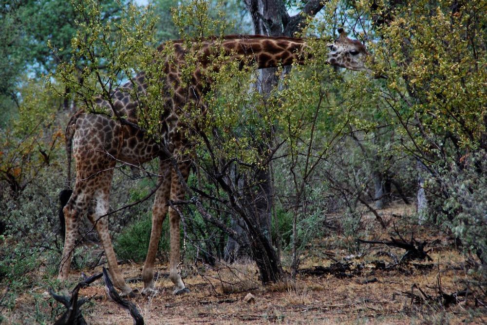 Safari in het Krugerpark Zuid-Afrika