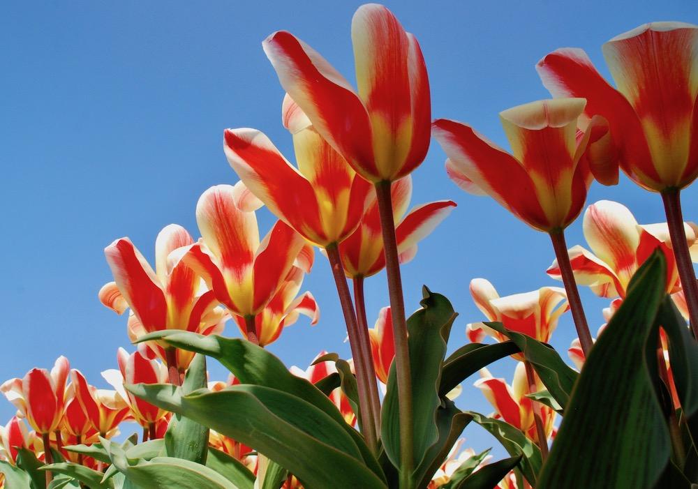 Wanneer bloeit de Bollenstreek Nederland