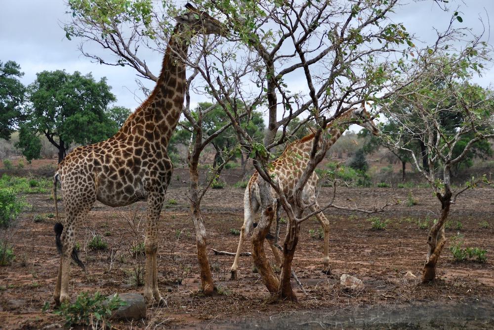 Kruger National Park Zuid-Afrika