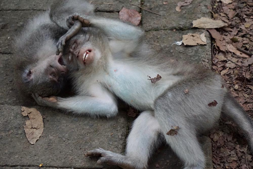 Monkey Forest Ubud Bali Indonesië