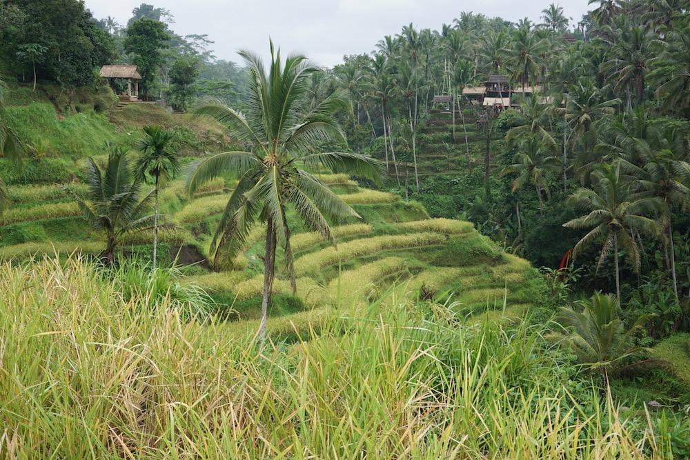 Rijstvelden Tegalalang Ubud Bali Indonesië