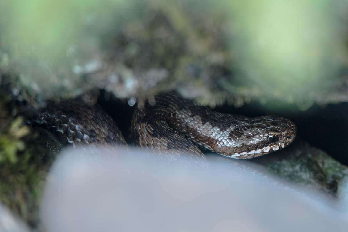 Auf unserer Wanderung durch den Nationalpark Triglav begegnen wir einer Kreuzotter
