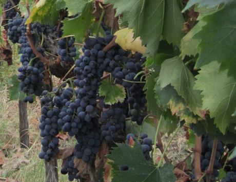Chianti Classico Grapes