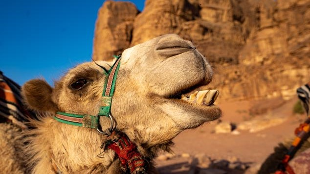 Camel expressing his personality, Wadi Rum, Jordan, image by Marie Goff