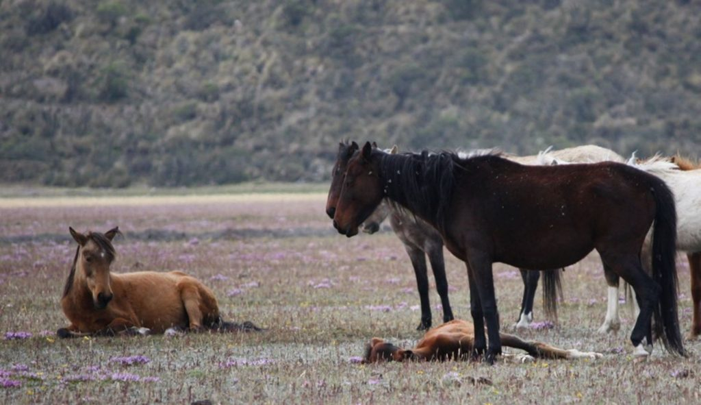 Wild horses graze at Cotopaxi National Park