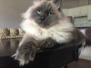 Ragdoll Cat Louie