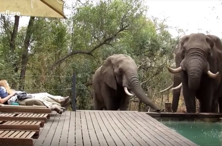 Video of Three Elephants Stopping For a Drink at a Pool