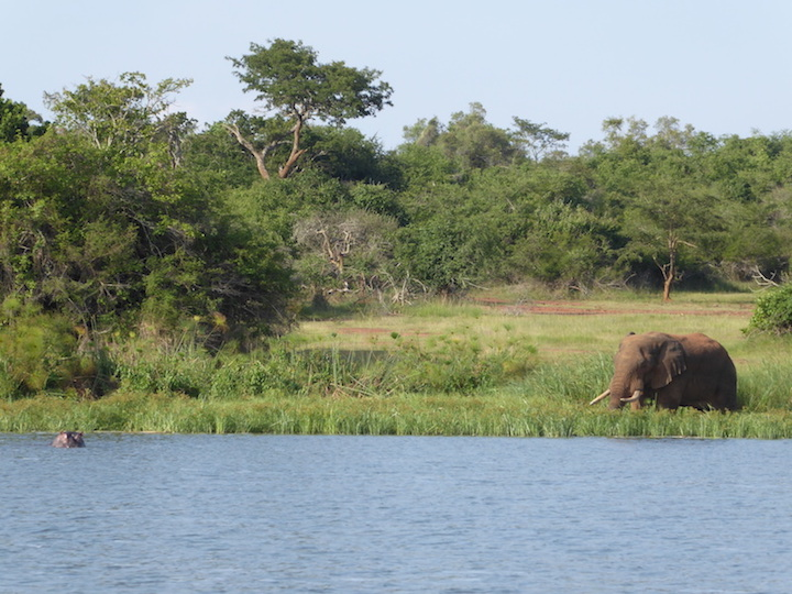 hippo and elephant on riverbank on african safari