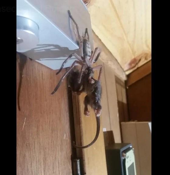 Spider Eats Possum at hotel
