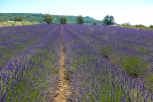 lavender-2016-16