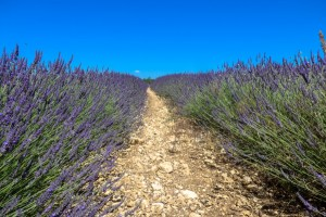 lavender-2016-3