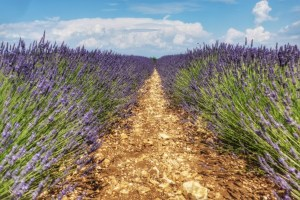 provence-lavender-2016-landscape