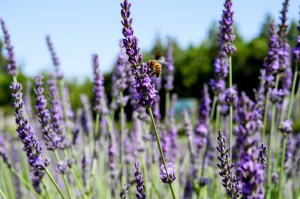 june-provence-lavender-tour-2