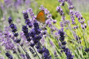 lavender-butterfly