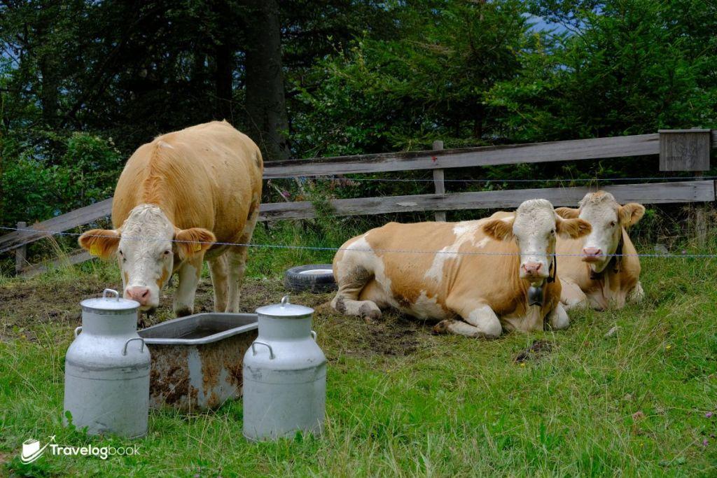遇上待在路邊的乳牛。
