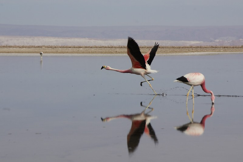 Flamingos in der Salar de Atakama