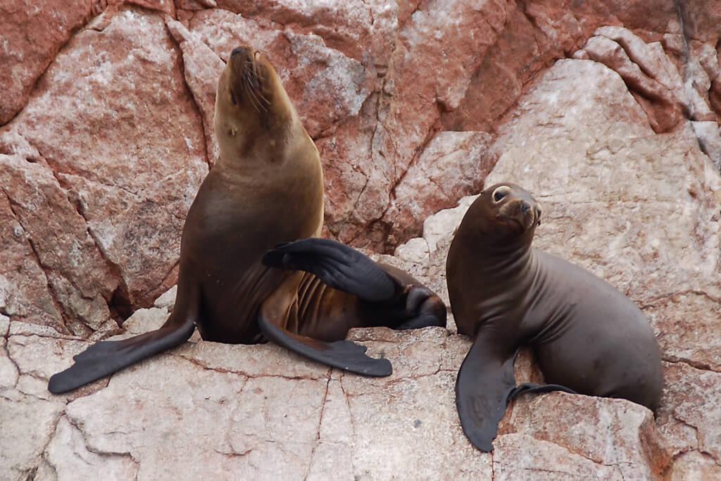 Seelöwen auf den Islas Ballestas