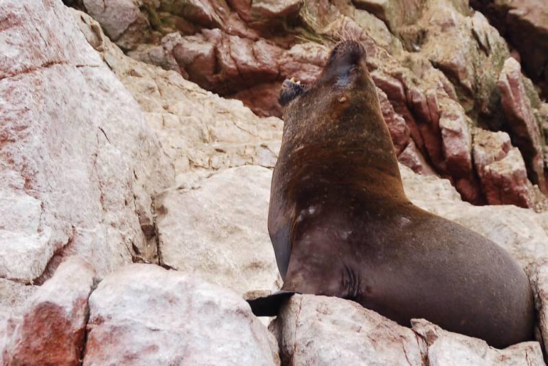 Seehund auf den Islas Ballestas