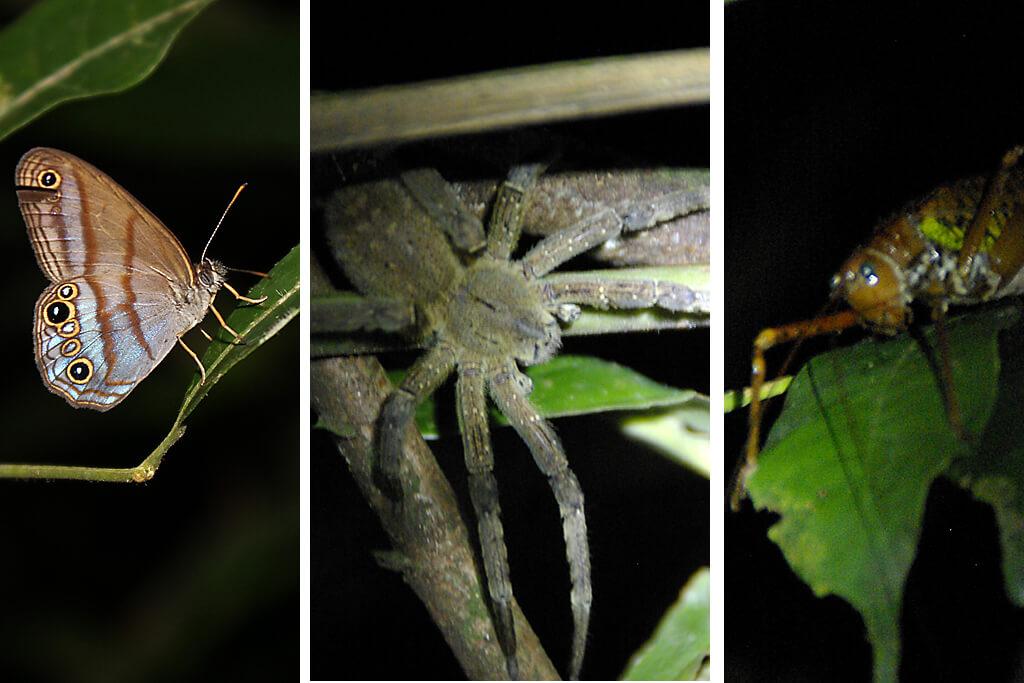 Bananenspinne und Insekten im Regenwald