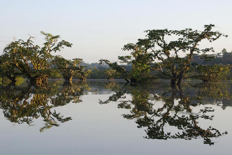 Mangroven im Amazonas-Gebiet Ecuadors