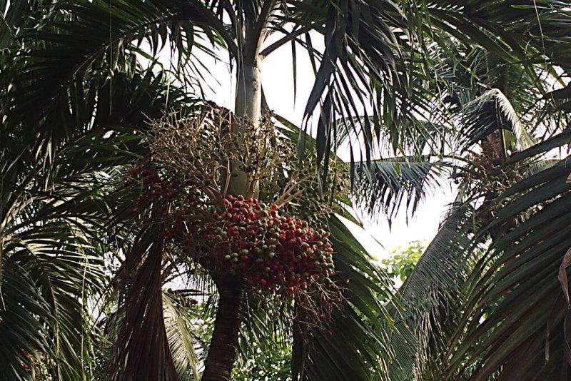 Rote Früchte der Ölpalme
