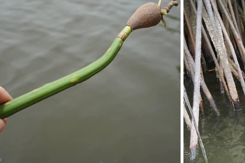 Mangroven bei Ouidah in Benin
