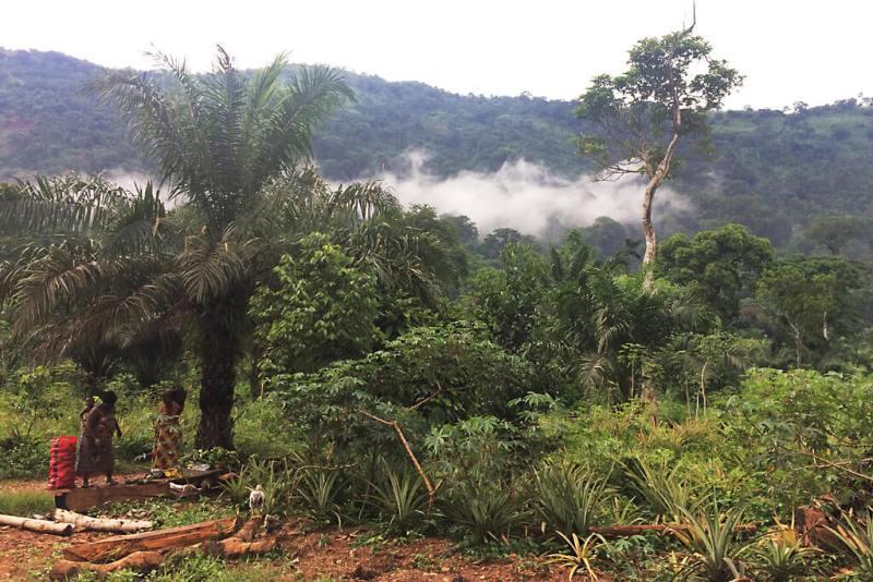 Ananasanbau bei Badou