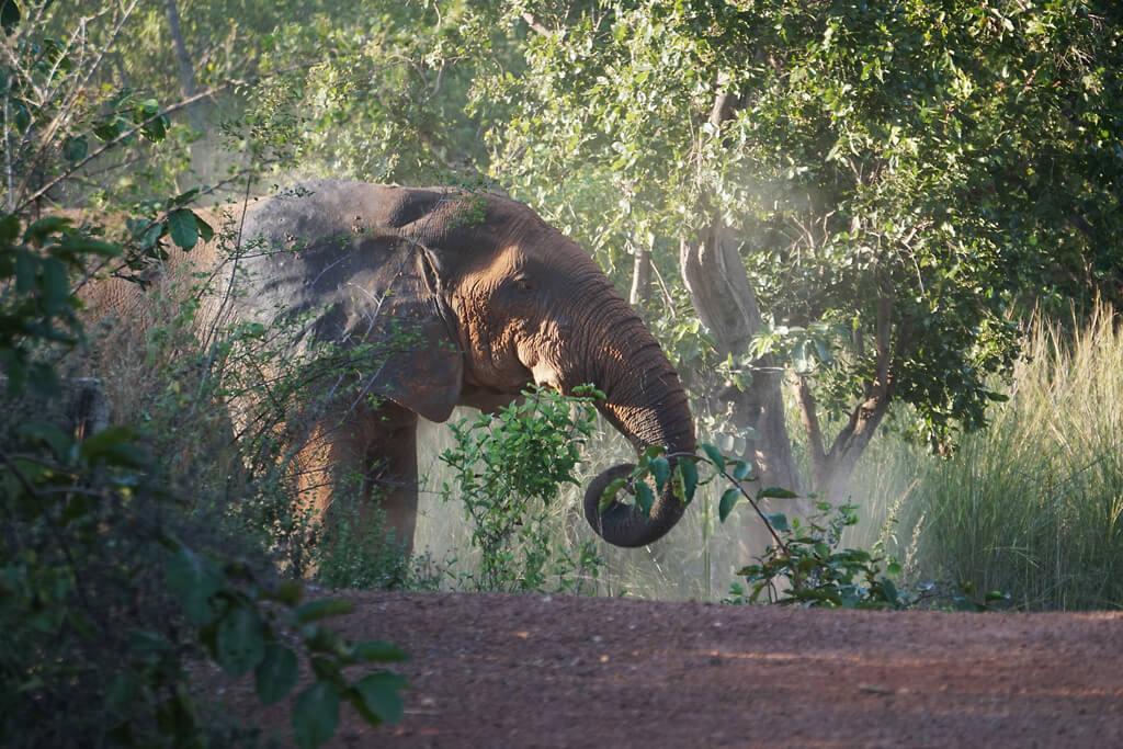 Elefant im Mole Nationalpark Ghana