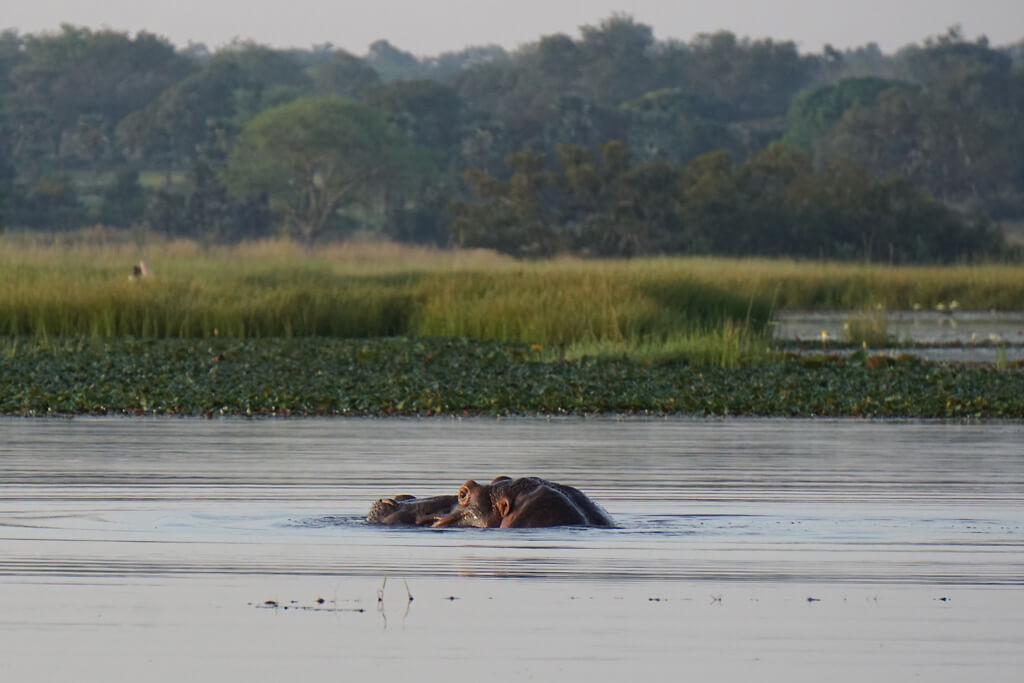 Flusspferd im Lac Tengrela bei Banfora in Burkina Faso