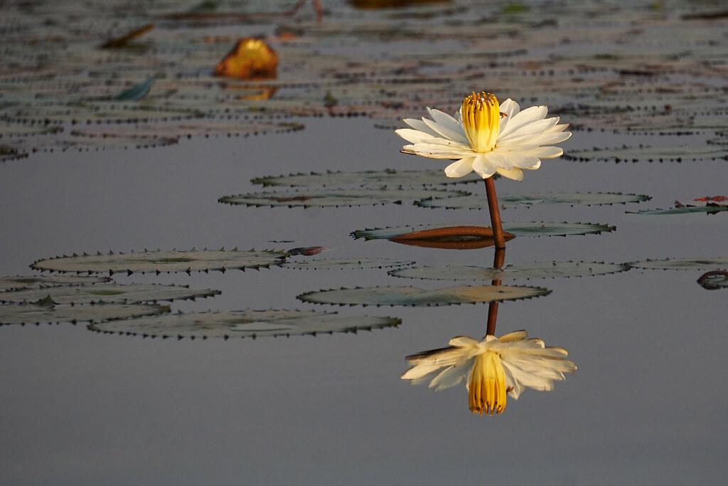 Seerose Lac Tengrela
