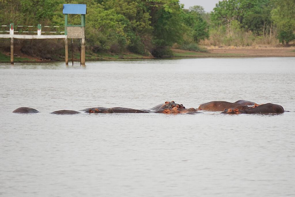 Nilpferde im Maar von Mango, Togo