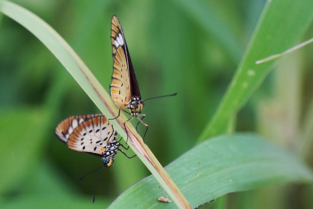 Schmetterlinge auf dem Plateau in Togo