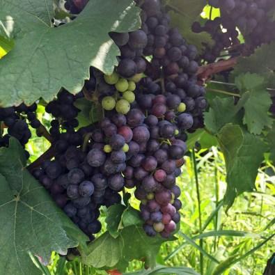 ... Weingarten der Familie Schneeberger!