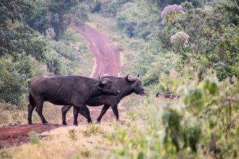 Büffelpaar im Aberdare Nationalpark in Kenia