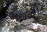 A spotted box fish