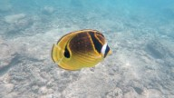 A Racoon Butterfly Fish