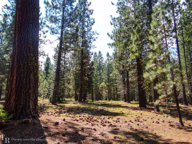 Manzanita Lake in Lassen, California - A photo essay, Travel Realizations, Pine trees