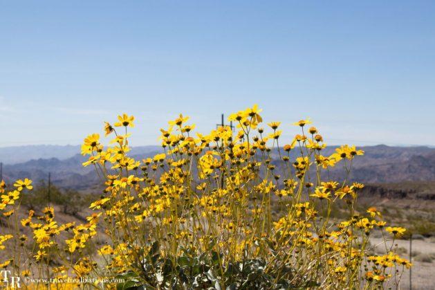 Las Vegas to Grand Canyon - journal of a journey, Travel Realizations, las vegas to grand canyon south rim, arizona, desert, wildflowers