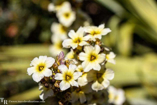 Mendocino Coast Botanical Gardens - A Photo Essay, White Flowers, Travel Realizations