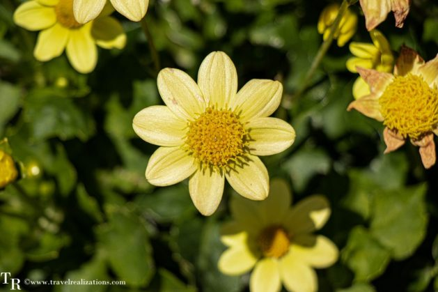 Mendocino Coast Botanical Gardens - A Photo Essay, yellow Flowers, Travel Realizations