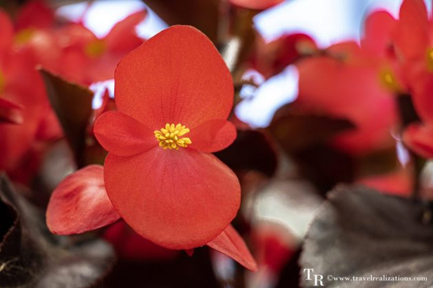 Mendocino Coast Botanical Gardens - A Photo Essay, red Flowers, Travel Realizations