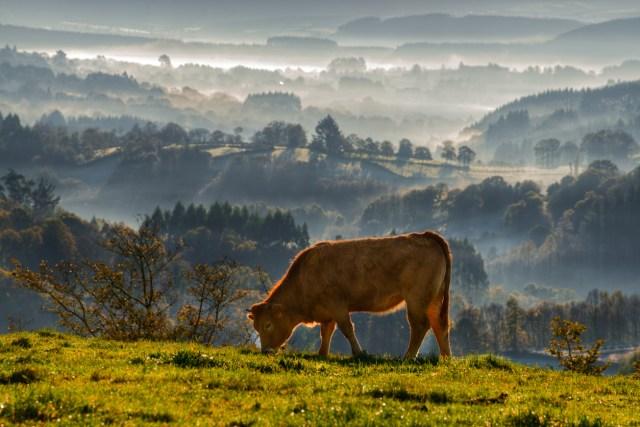 veal rubia galega grazing in a meadow in Abadín, Lugo, Galicia