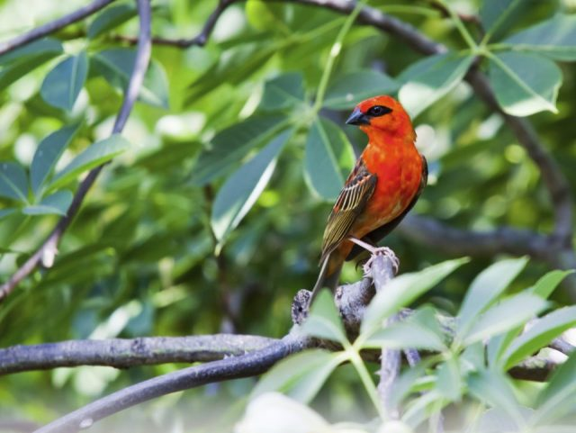 Male red fody bird on the tree branch