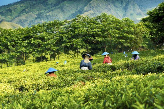 picking tea in Java