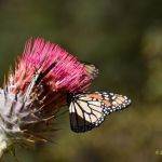 Monarch on pink thistle