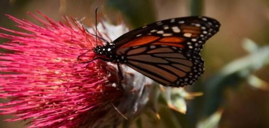 Mariposas Monarcas!